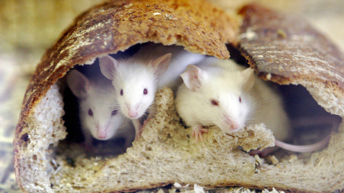 Researchers Give Mice Super Calorie-Burning Fat Cells Using CRISPR
