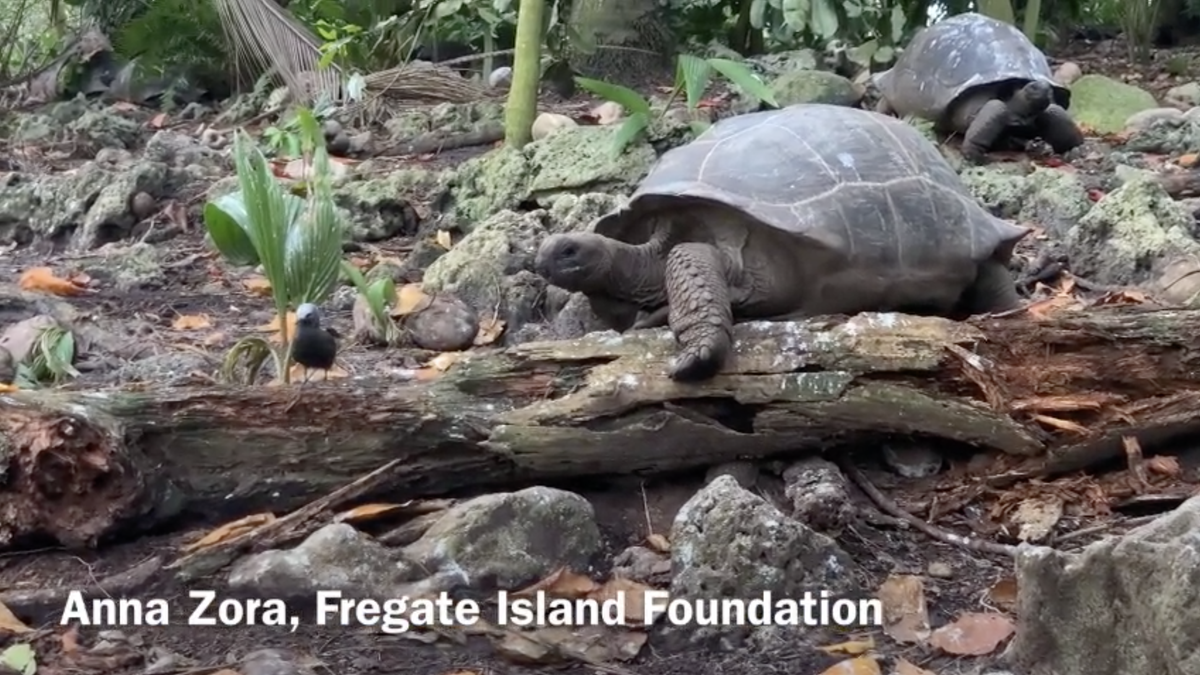 Giant Tortoise Caught on Video Hunting and Killing a Bird